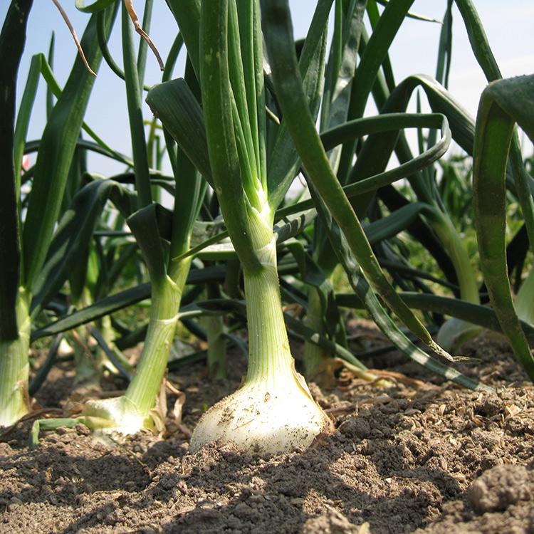玉ねぎ畑2